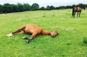 a horse laying down