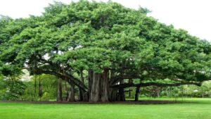 a banyan tree
