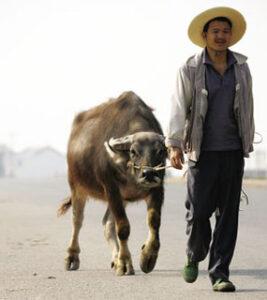taking buffalo
